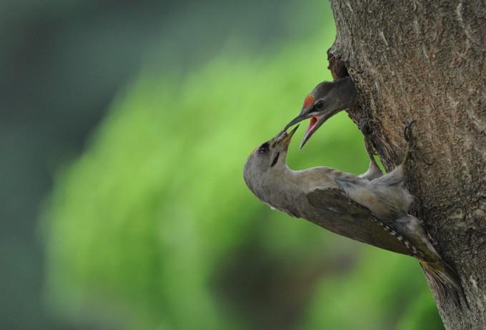 청딱따구리가 새끼에게 먹이를 먹이는 모습. 부부의 사랑으로 새끼는 독립할 수 있을만큼 무럭무럭 자랐다.  - 김성호 교수 제공 제공